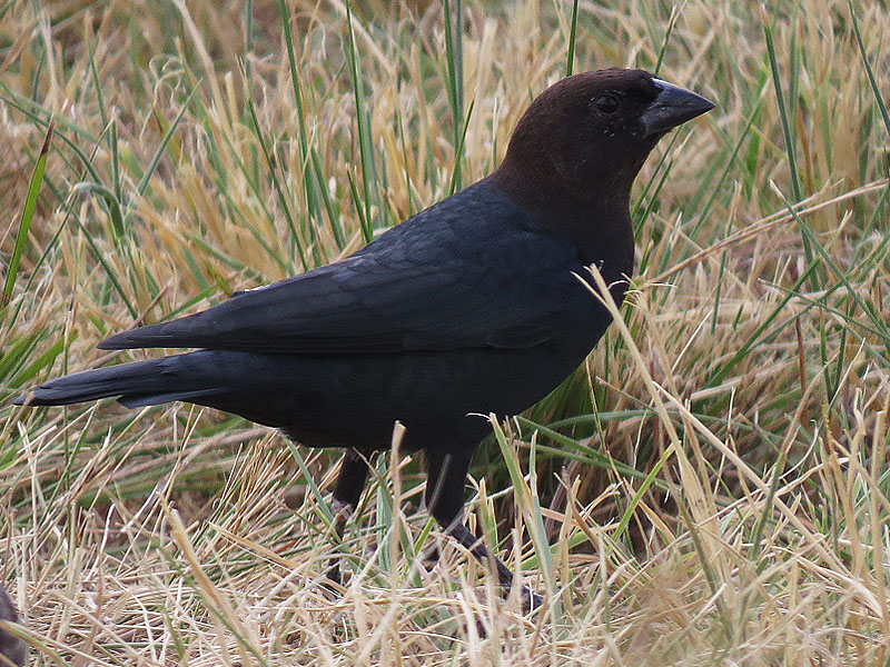 A male Brown-headed Cowbird.