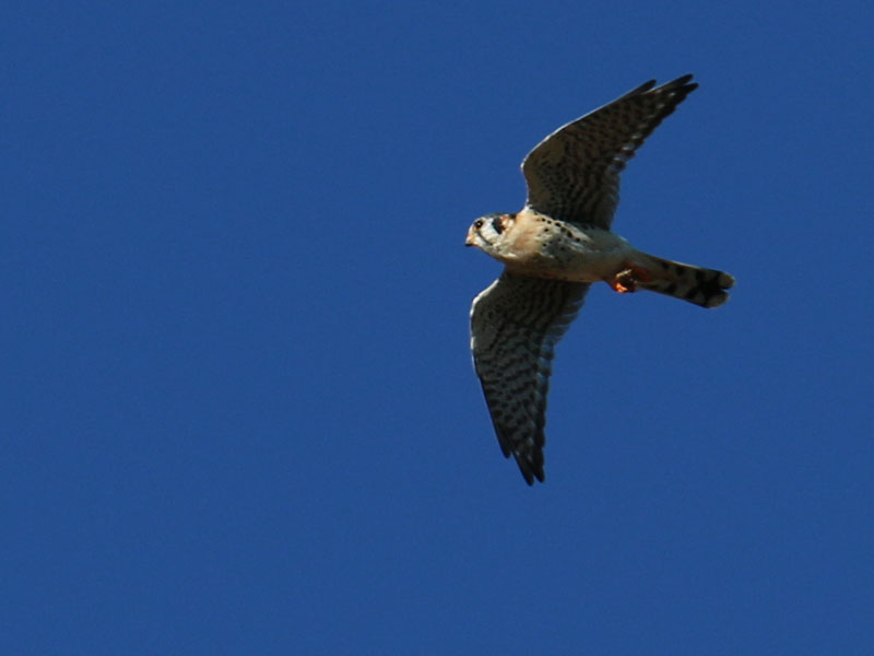 A much smaller American Kestrel was also hunting grasshoppers.