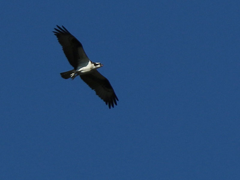 A high flying Osprey.