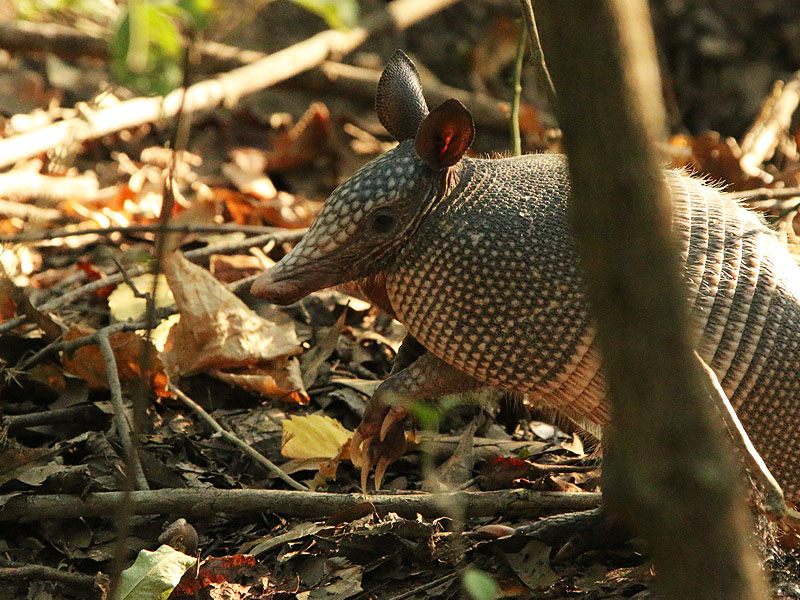 An Armadillo keeping an eye on me from the roadside vegetation.