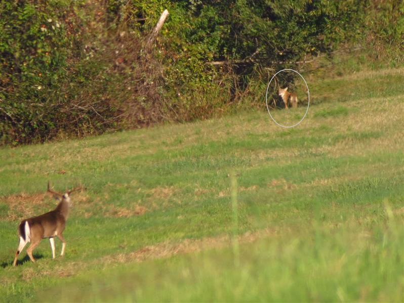 inaturalist-annikaml-deer-coyotes-02