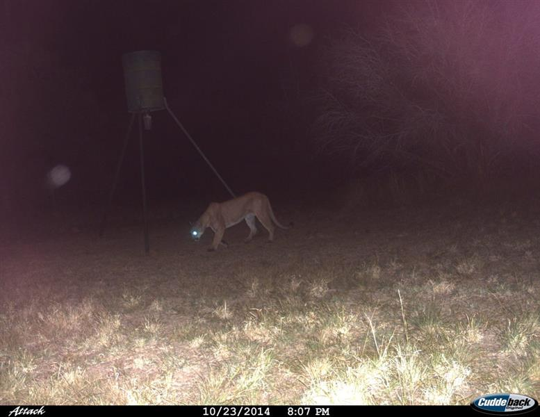 Are There Mountain Lions in The Dallas/Fort Worth Area?