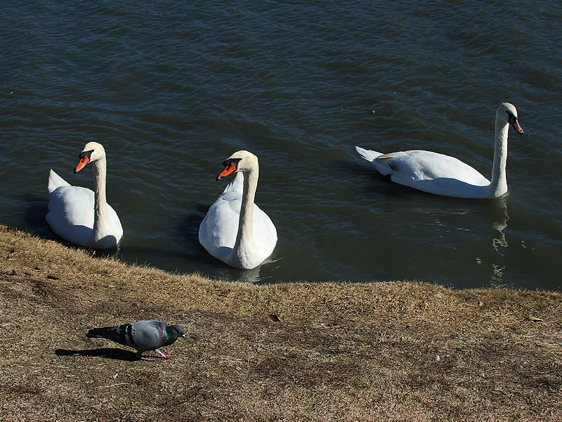 Mute Swans.  Left to right: female, male, and their seven month old juvenile.