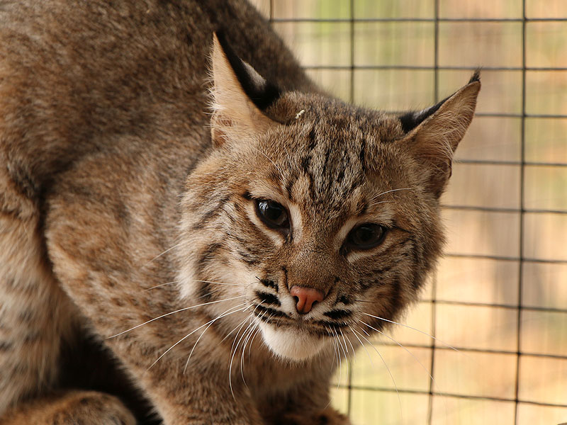 Josey The Orphaned Bobcat Kitten – Update Five