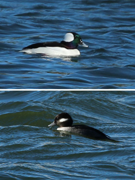 Bufflehead - Male Above, Female Below