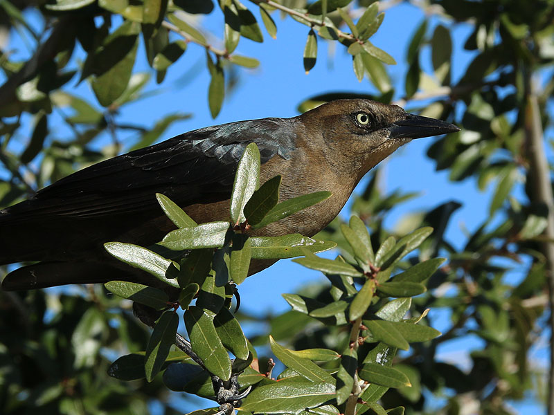 Great-tailed Grackle - Female