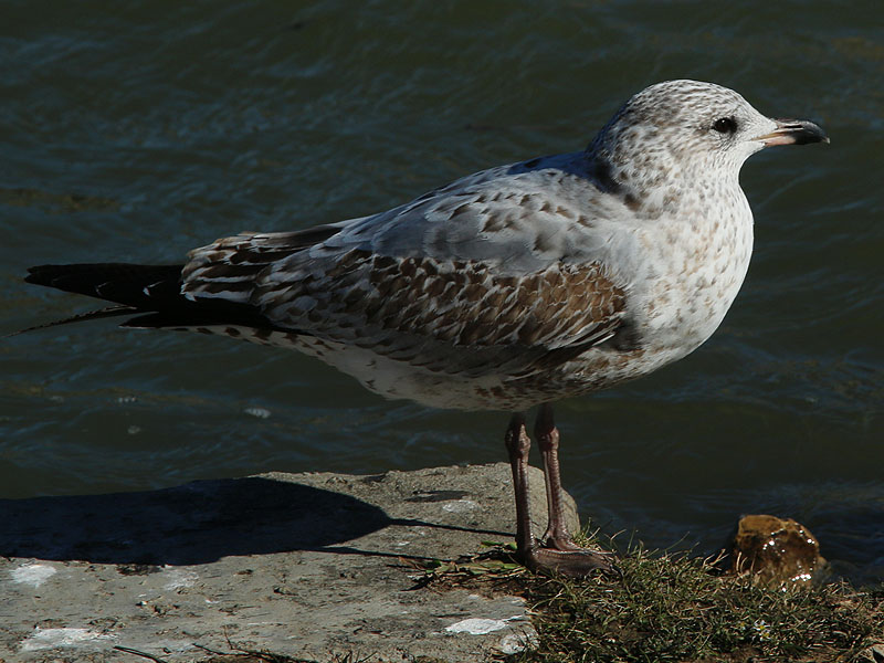 Ring-billed Gull - Juvenile