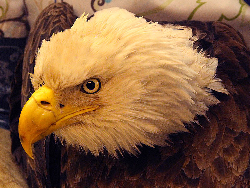 Rehabbing the Bald Eagle