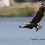 In Search of the White Rock Lake Bald Eagle