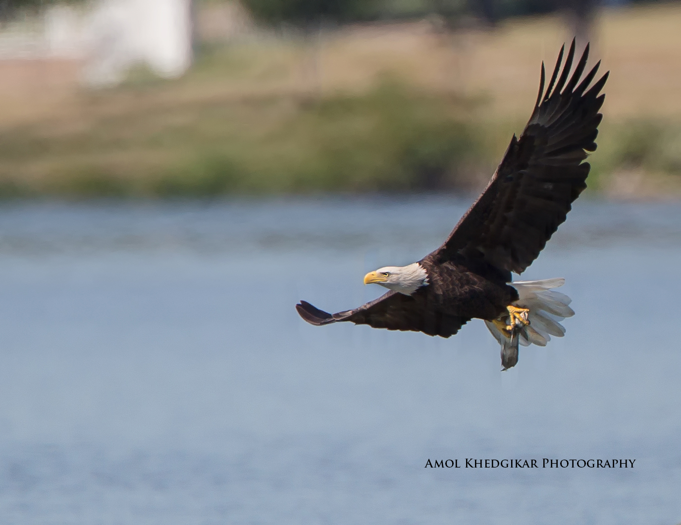 Bald Eagle with fish.  Photograph by Amol Khedgikar