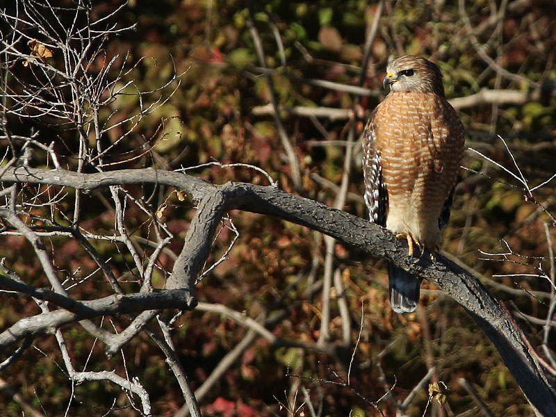 A Red-shouldered Hawk perched below the spillway.