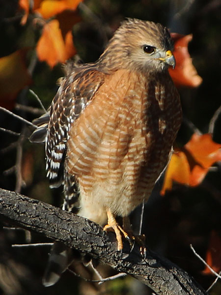 A closer look at the appealing Red-shouldered Hawk.