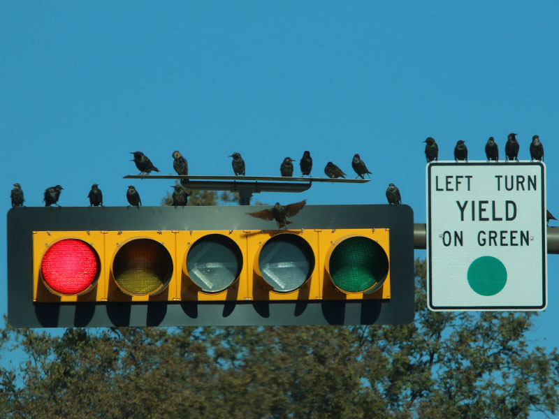 European Starlings on a West Lawther traffic light.