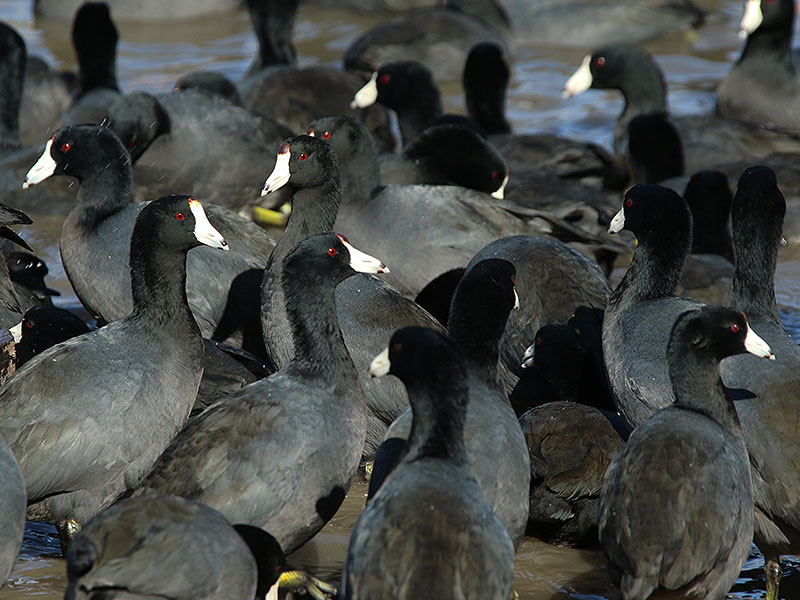 American Coots by the dozen.