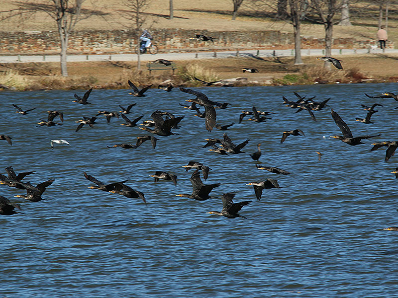 Hundreds of cormorants spooked by a low flying airplane.