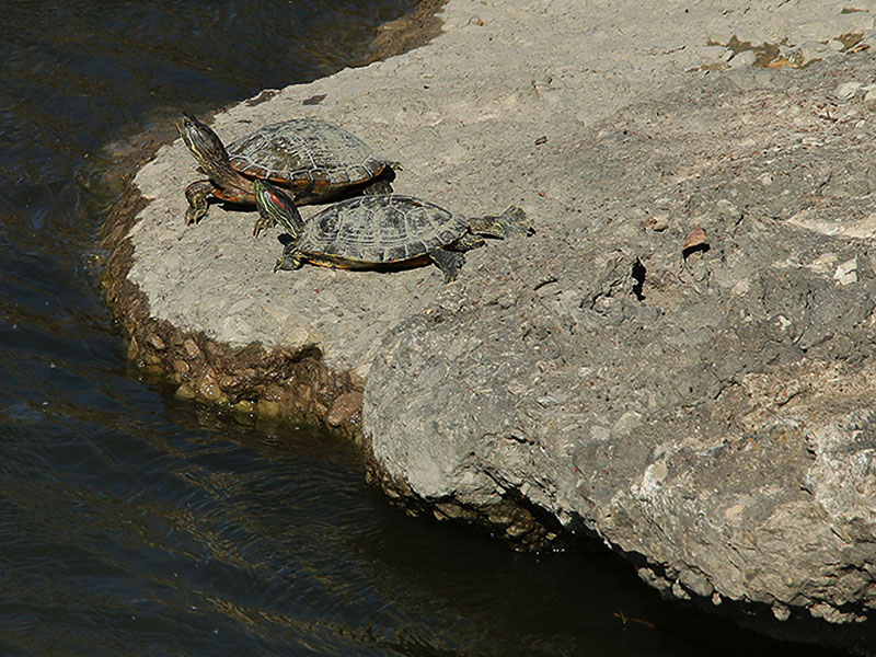 Basking Red-eared Sliders.