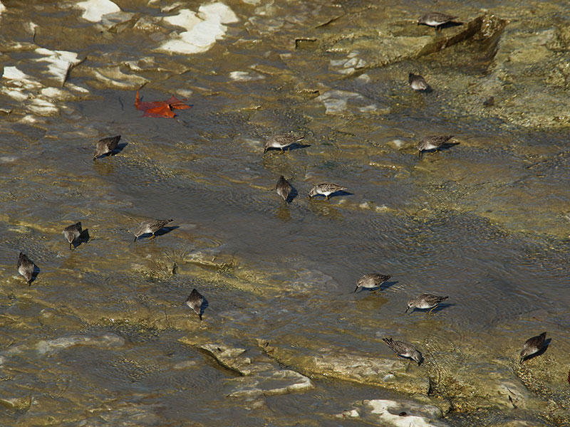 Foraging Least Sandpipers.