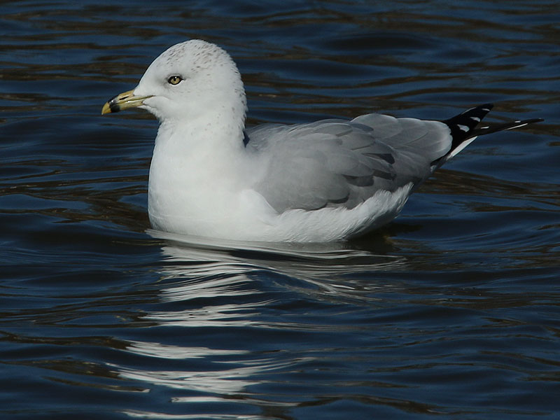 An adult Ring-billed Gull.