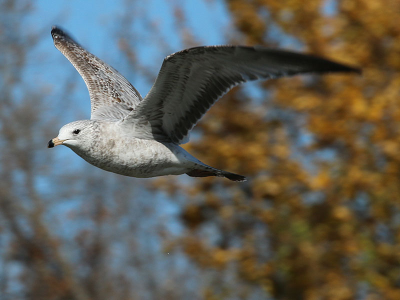 A juvenile Ring-billed Gull.