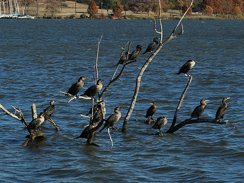 A unique opportunity to observed Neotropic Cormorants and Double-crested Cormorants in close proximity.