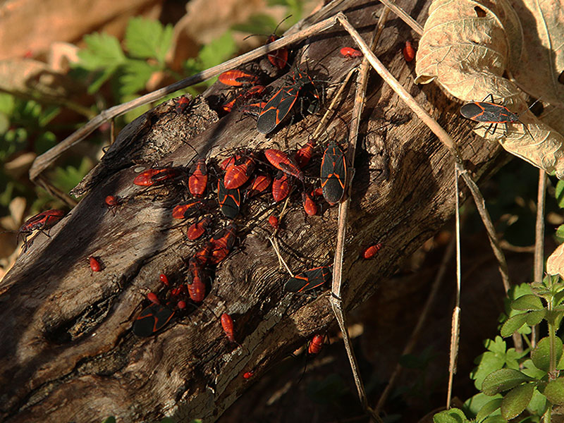 A small part of a much larger Box Elder bug swarm.