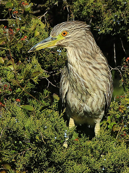 A juvenile Black-crowned Night Heron.