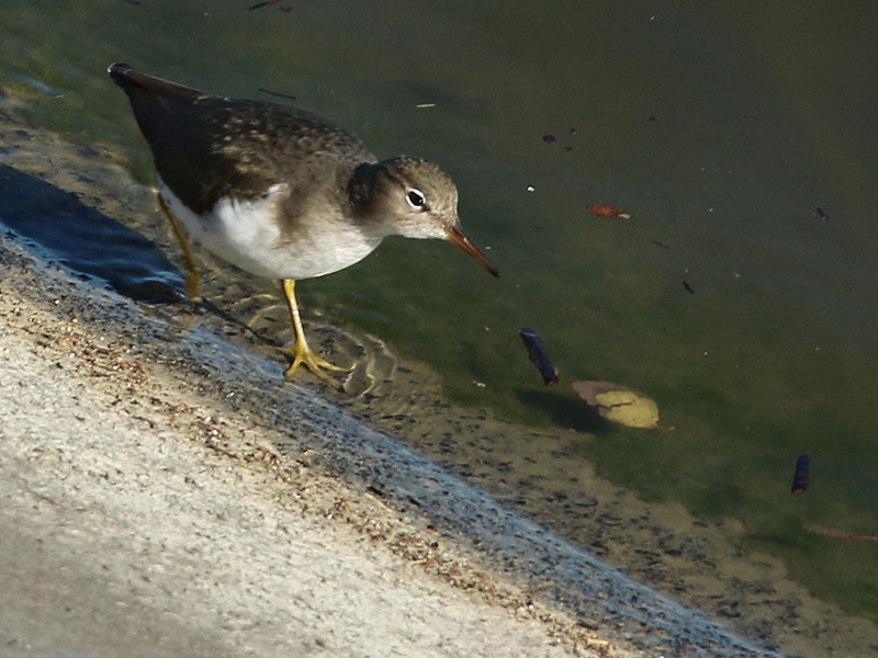 A Spotted Sandpiper on the  dam.