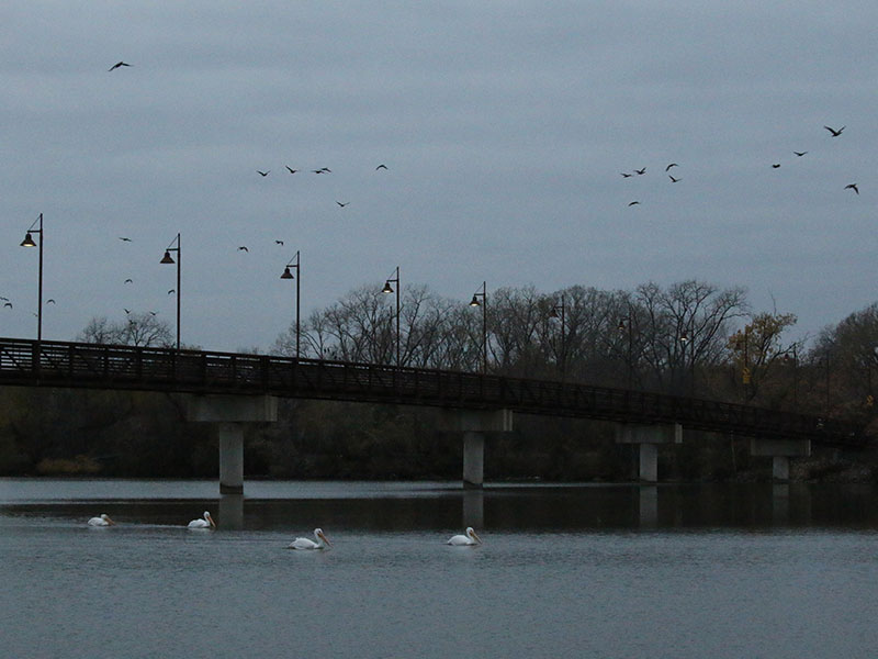 Double-crested Cormorants streaming out of their namesake bay at dawn.