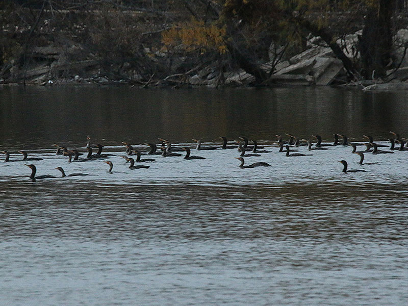 Dozens of Double-crested Cormorants feeding at the mouth of White Rock Creek.