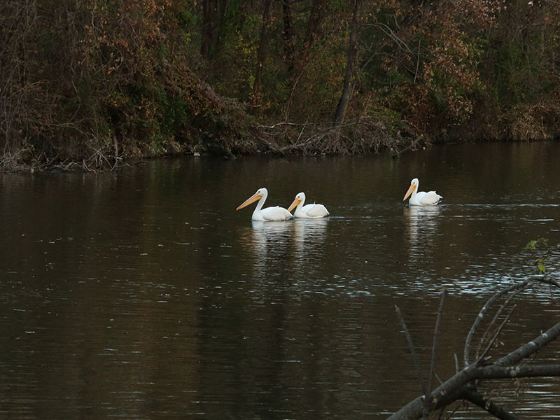 A trio of American White Pelicans.