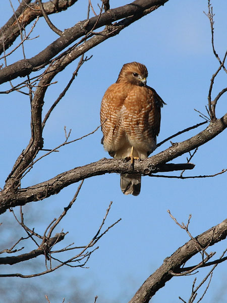 A Red-shouldered Hawk at the spillway.