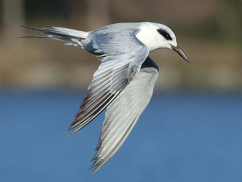 A Forster's Tern flying along the length of the dam.