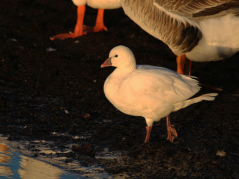 A lone Ross's Goose at Sunset Bay.