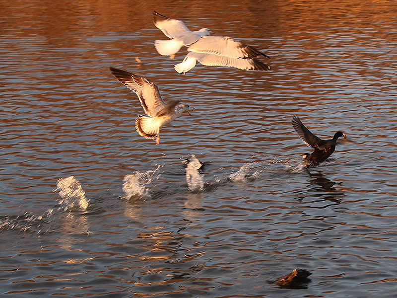 Ring-billed Gulls attempting to steal bread from an American Coot.