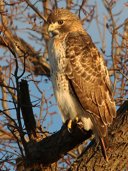 A Red-tailed Hawk hunting the margins near Sunset Bay.
