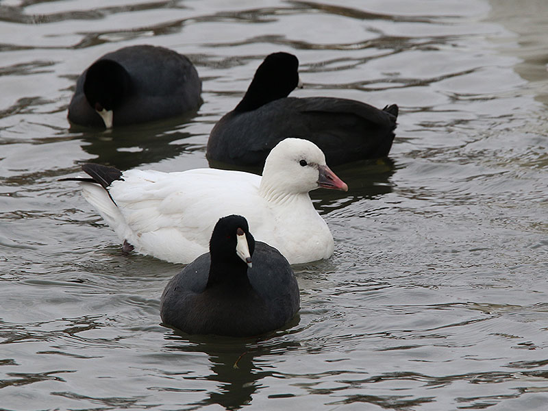 The Ross's Goose is just barely larger than  an American Coot.