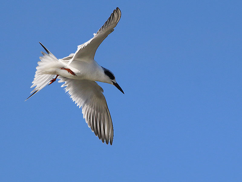 The aerobatic Forster's Tern.