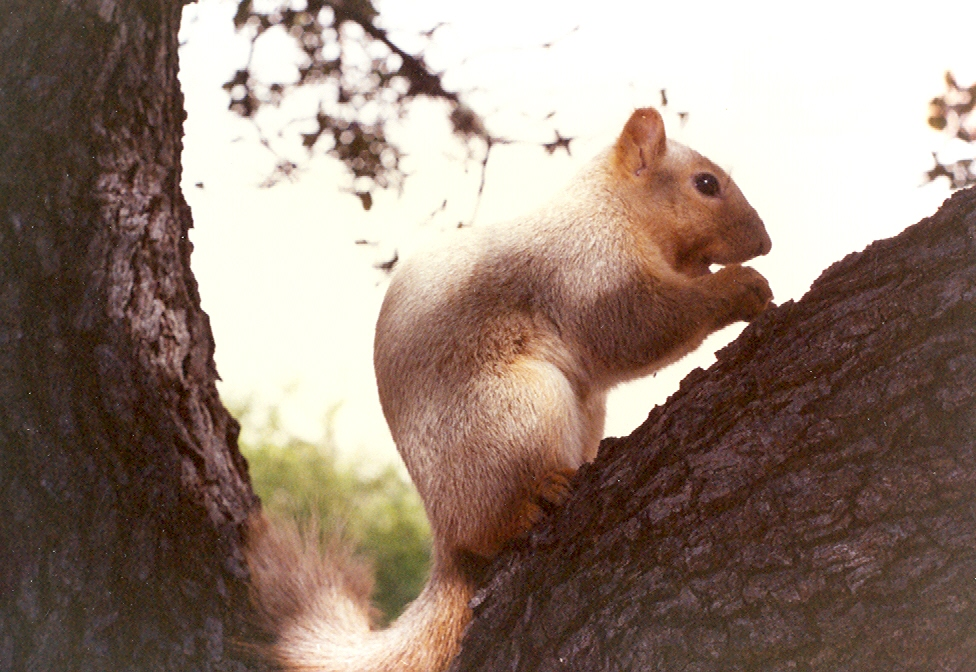 A blond Fox Squirrel photographed in Austin, Texas.