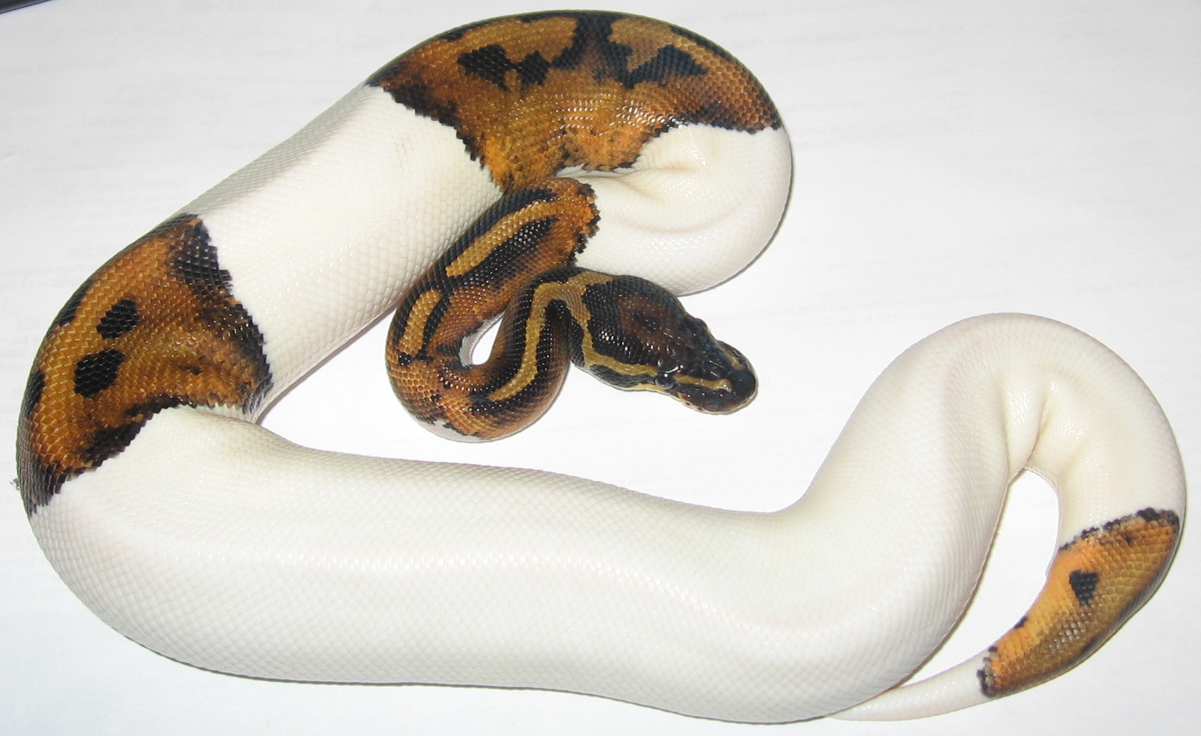 A piebald Ball Python.  Photograph courtesy Wikimedia Commons.