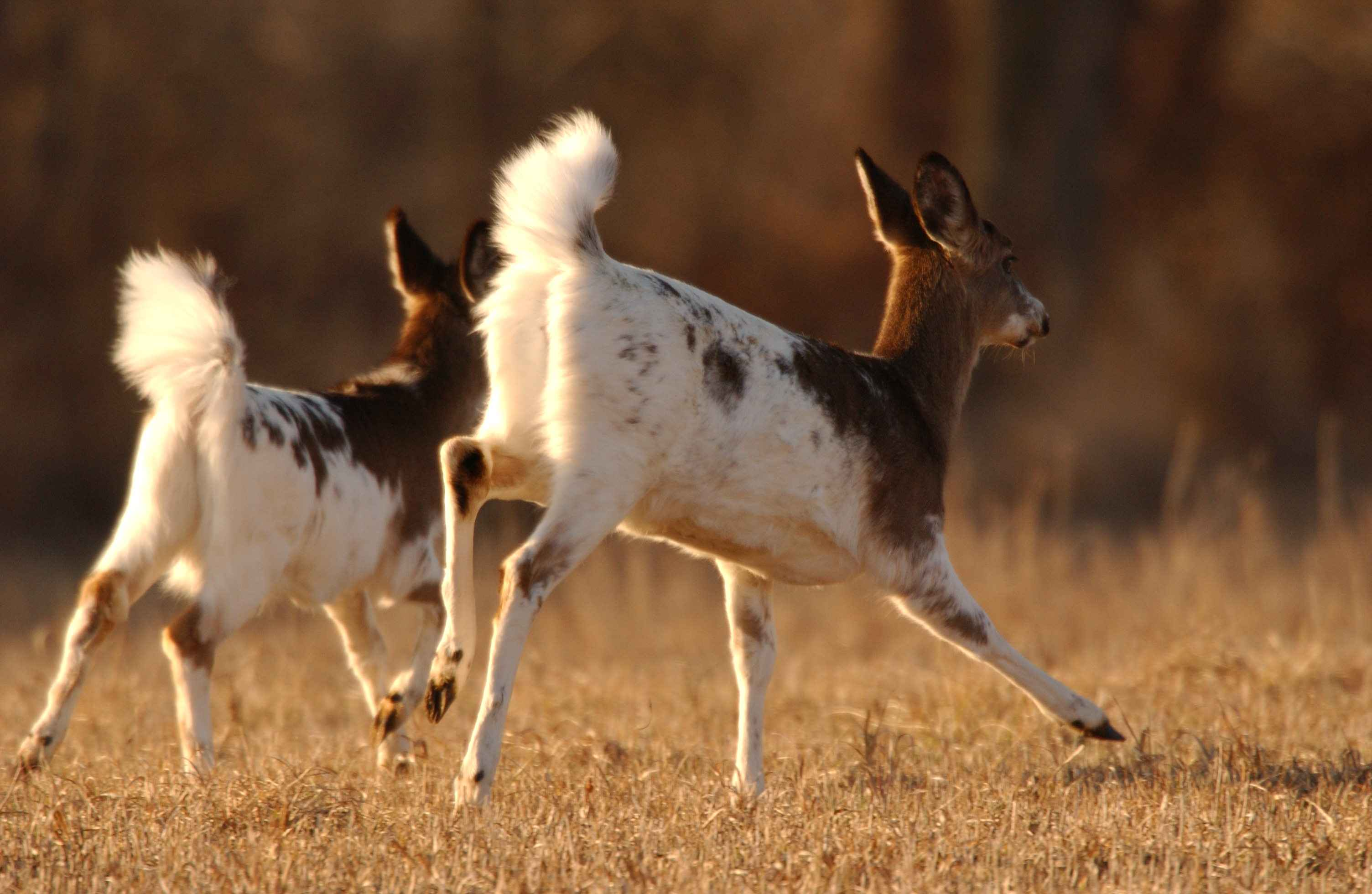 Piebald White-tailed Deer.  Photograph courtesy Wikimedia Commons.