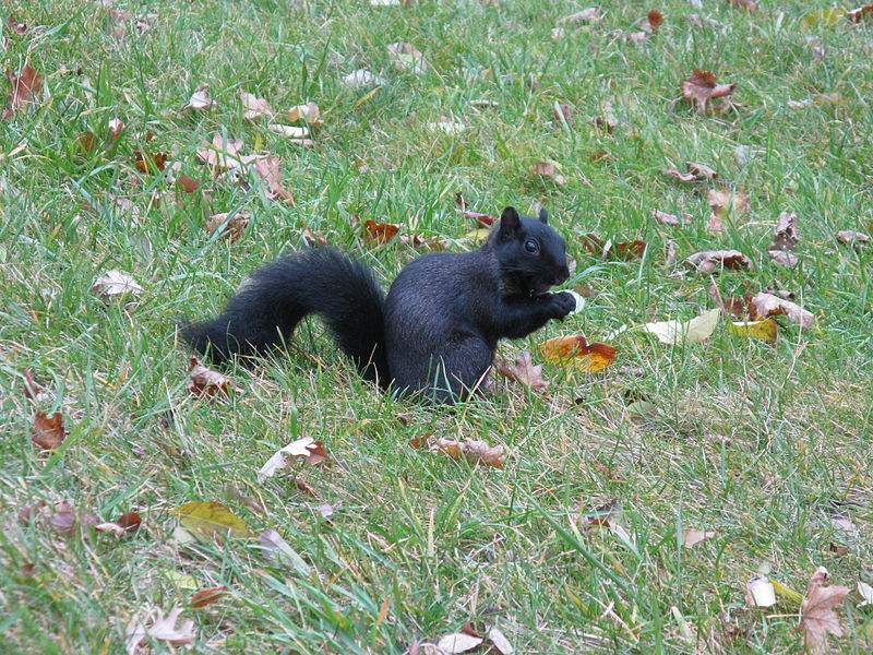 A melanistic squirrel.  Photograph courtesy Wikimedia Commons.