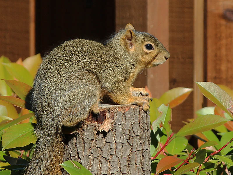 A more typically colored Fox Squirrel.