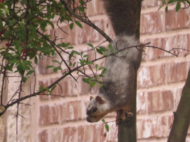 A piebald Fox Squirrel observed in Carrollton, Texas.