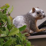 Fox Squirrel Oddities