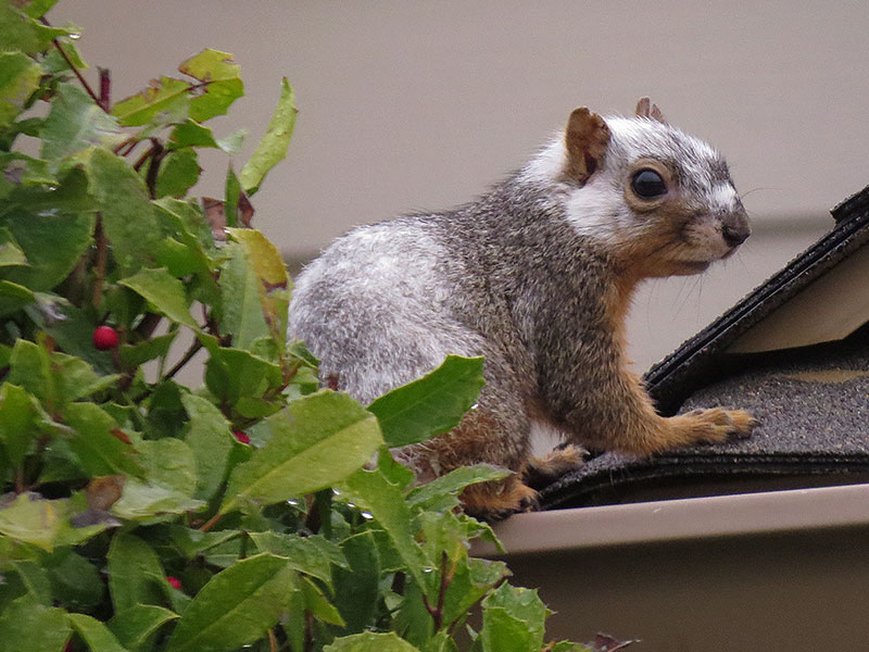 A Fox Squirrel Oddity