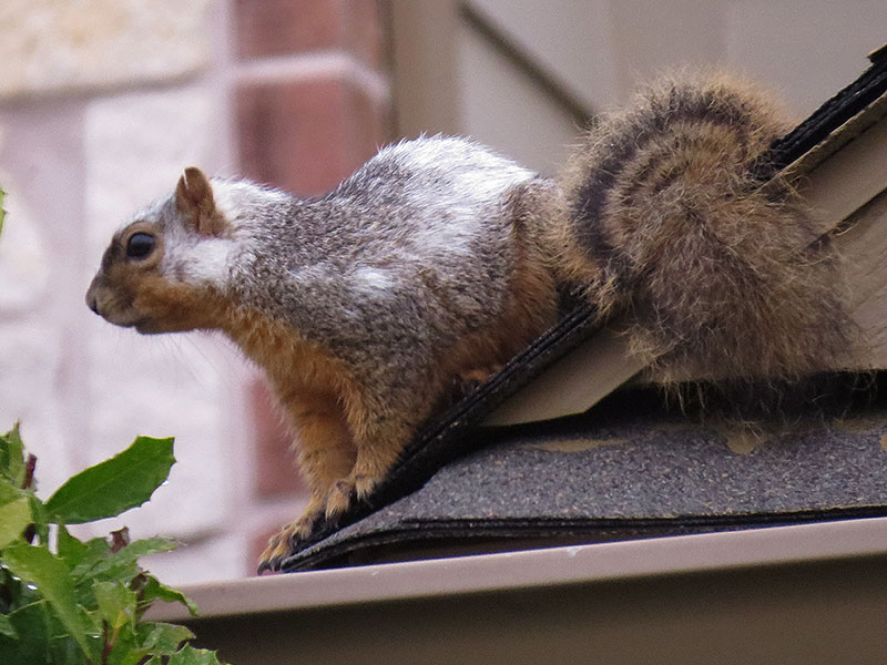Notice the large patches of  white fur on this squirrel's head and back.