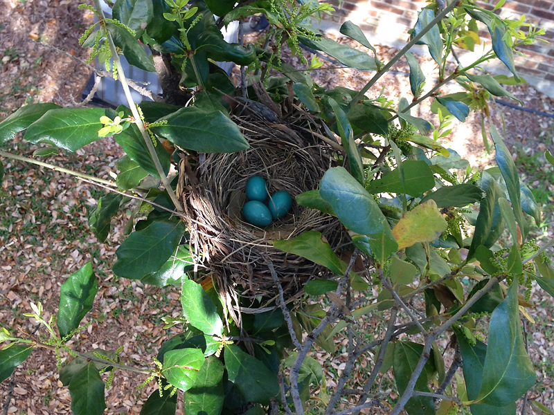 Three perfect turquoise American Robin eggs!