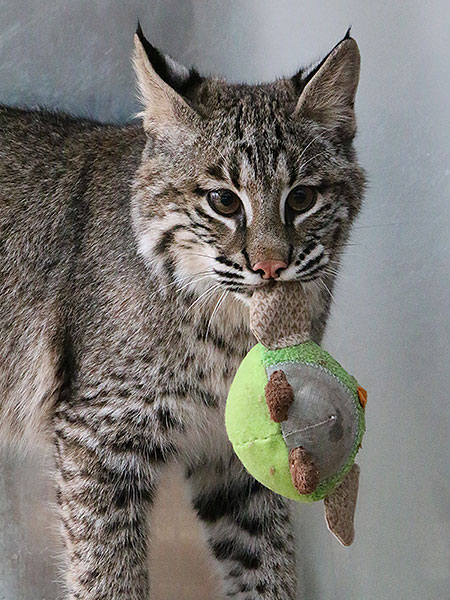 Josey The Orphaned Bobcat Kitten – Update Six
