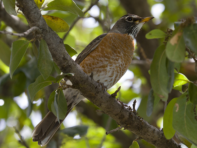 Another female American Robin was observed in the immediate area.  Photograph courtesy Phil Plank.