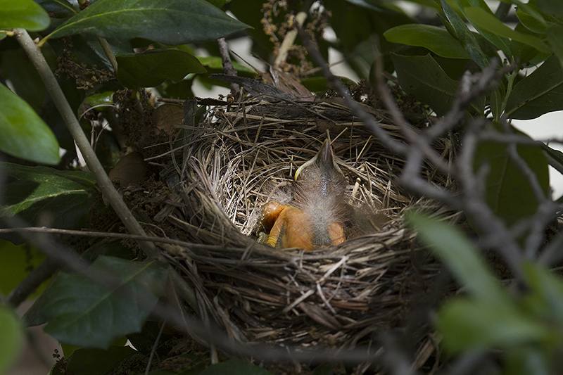 The female robin returns to the nest with a mouthful of caterpillars for her brood.   Photograph courtesy Phil Plank.